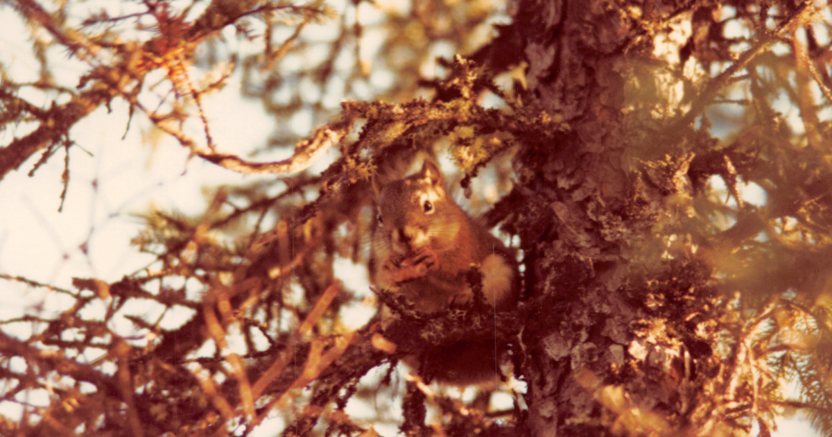 Req Squirrel in a tree